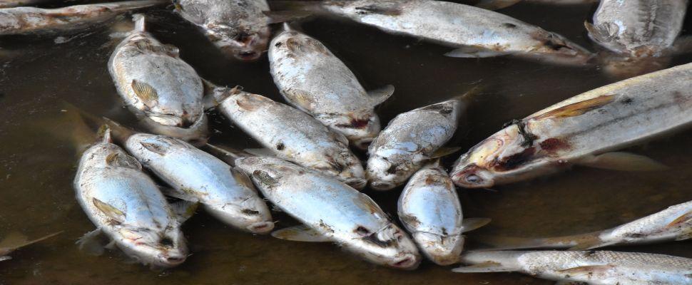 Kızılırmak'taki balık ölümlerinin nedeni, oksijen azlığı