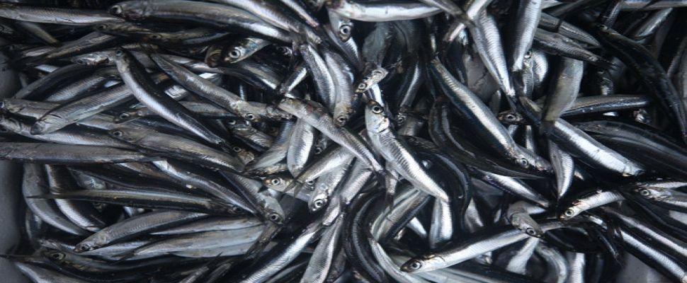 Balık fiyatları yarı yarıya düştü
