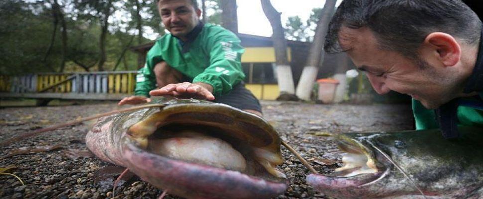 Düzce'de amatör balıkçının oltasına 51 kilogramlık yayın balığı takıldı